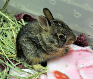 juvenile eastern cottontail